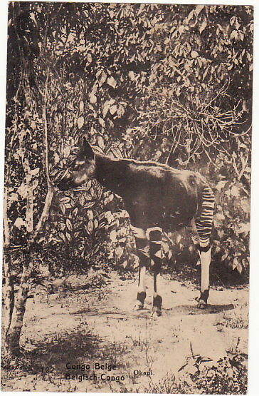 [16025]  BELGIAN CONGO - USA…POSTCARD of OKAPI ..  1924 (Apr 15)